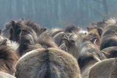 De Stille Kern_Horsterwold_Zeewolde_konikpaard_6 (Edwin Pijpers) Tags: natuur horsterwold landschap zeewolde konikpaarden destillekern