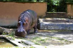 Hippo at the Sorocaba Zoo (marcelo_valente) Tags: zoo fuji fujifilm sorocaba hipopotamo zoologico hippopotamos xe2 fujifilmxe2 xc50230mm
