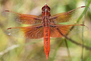 Flame Skimmer, dorsal wing spread