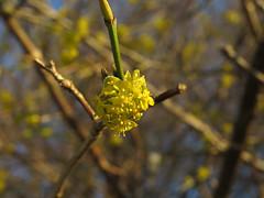 European cornel (aniko e) Tags: winter snow flower yellow spring hedge som shrub cornel corneliancherry cornusmas cornus cornaceae hecke kornelkirsche europeancornel húsossom dürlitze