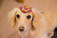 IMG_4200 (yukichinoko) Tags: dog dachshund 犬 kinako 節分 ダックスフント ダックスフンド きなこ