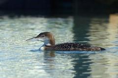 Common Loon Non-breeding (Gavia immer) DDZ_5292 (NDomer73) Tags: bird december loon elkhornslough commonloon 2015 17december2015