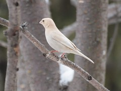 Leucistic House Finch, Minneapolis, Mn (rlbjjwach) Tags: finch albino leucistic