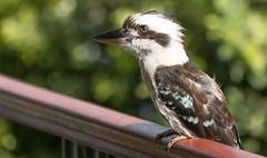 australian kookaburra (rod marshall) Tags: kookaburra australiankookaburra