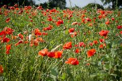 Poppy Field I (AnnaPirata) Tags: flower field pals catalonia poppies catalunya costabrava redflower poppyfield fujixe1