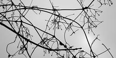raindrops on branches 1910 (s.alt) Tags: plants plant detail macro texture nature wet water rain silhouette closeup botanical drops flora waterdrop aqua ast pattern close natur drop rainy bubble vegetation sauber shape rein äste bäume baum regen nas raindrop zweige nass regentropfen feucht geäst regenschauer the4elements astwerk natureunveiled regnen nässen raindropsonbranches