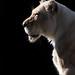 White Lion Profile