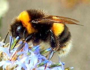 Bumblebee - Bombus terrestris