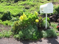 starr-110201-0526-Aeonium_arboreum-flowering_habit_by_mailbox-Keokea-Maui (Starr Environmental) Tags: aeoniumarboreum