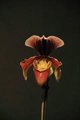 paphiopedilum (zet11) Tags: orchid kwiat storczyk czerwony