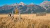 Mormon Row, Grand Teton (MarkWarnes) Tags: autumn mountains fall barn farm wheat homestead aspen grandteton grandtetonnationalpark mormonrow antelopeflats cottonwoodtrees moultonbarn sagebush mormonbarn moranjunction chambershomestead