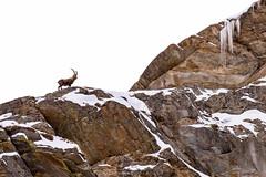 Alpine ibex (Emanuele Biggi) Tags: park winter italy alps male altitude horns alpine national mammals ibex capra granparadiso valsavarenche