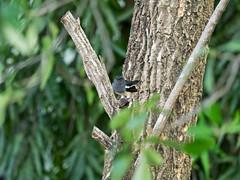 P3131221 (tatsuya.fukata) Tags: bird animal thailand samutprakan