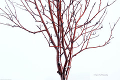 Naked Tree with Snow in color (Sigrun Saemundsdottir) Tags: trees winter white snow abstract cold tree nature lines naked season frozen iceland pattern natural bare branches freezing line treetrunk trunk snowing scandinavia frigid chill baretrees northernhemisphere sigrunsphotography sigrunsaemundsdottirphotography sigrunsphoto