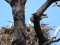 Bald Eagles - Florida by SpeedyJR (SpeedyJR) Tags: nature birds florida wildlife baldeagle eagles stateparks pinellascountyfl honeymoonislandstatepark pinellascountyflorida speedyjr ©2016janicerodriguez