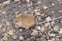 N160318_003.jpg (Tristan Styles) Tags: home nature garden mouse mammal nikon wildlife d3s copyright2016tristanstylesallrightsreserved