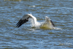 American White Pelican fishing sequence - 9 of 20