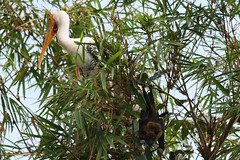 fruit bat with heron. Mysore.India. (richard evea) Tags: india colour birds canon karnataka mysore bats stork fruitbat