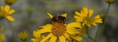 For Sweet Life (harefoot1066) Tags: asteraceae syrphidae diptera brittlebush encelia enceliafarinosa eristalis dronefly syrphidfly aschiza eristalinae eristalistenax eristalini eristalina