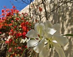 La casona de las flores (gabthewanderer) Tags: flowers flores museum garden landscape mexico oldhouse urbanexploration nuevoleon bugambilias urbanlandscape museoelojo