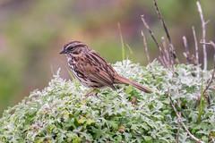 An unidentified wild bird (satoshikom) Tags: bird weekend pigeonpoint canoneos60d canonef100400mmf4556lisiiusm