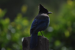 Stellar's Jay (muraliswami) Tags: california blue nature jay bigsur
