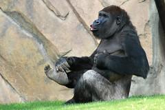 Gorille de Côte (olivier.ghettem) Tags: africa valencia spain espagne valence afrique singe gorille grandsinge afriqueéquatoriale bioparcvalencia gorilledecôte