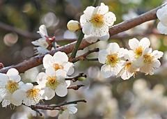 P3052153 (eriko_jpn) Tags: whiteflower ume plumblossom prunusmume japaneseapricotblossom