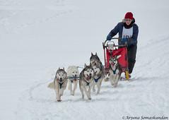 Dog Sledding -6 (digithief) Tags: winter snow ontario dogs nikon d750 sledding dogsledding haliburton