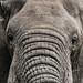 Full-frame elephant