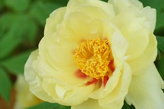 ()/Paeonia suffruticosa (nobuflickr) Tags: flower nature japan botanical kyoto   treepeony the  garden  paeoniasuffruticosa   moutanbotan 20160214dsc01101