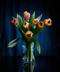 Spring is here... (Rajasekar Alamanda) Tags: flowers blue stilllife lightpainting color 35mm spring fuji f14 tulip vase fujifilm alamanda xpro1 rajasekar