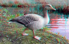 Goose Kralingseplas Rotterdam 3D (wim hoppenbrouwers) Tags: bird 3d rotterdam anaglyph goose gans stereo vogel heemtuin kralingseplas redcyan watervogel