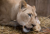 DSC_3786WM (Linda Smit Wildlife Impressions) Tags: cats white nature animal cat mammal photography big nikon outdoor african wildlife birth lion d750 cubs endangered lioness bigcats cecil carnivore lioncubs givingbirth
