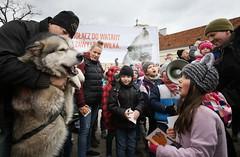 WWF-Poland (Earth Hour Global) Tags: husky 8 9 polska warszawa wwf wilk wycie mazowieckie wilki ochrona edycja akcja wilkw finak skwerhoovera andrzejgkruszewicz piespsy zwierzt