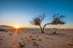 Morning sunshine!, Naukluft Namibia [explored] (Simon van Ooijen) Tags: park sunset sun tree beautiful forest sunrise landscape photography star zonsondergang nikon flickr desert sigma explore national weaver namibia namib namibie sociable d90 naukluft ooijen republikeinwever