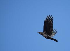 Crow in Flight (Pauline Brock) Tags: bird nature flying wings wildlife flight crow blackbird soar americancrow