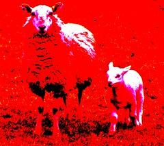 Sheep, Aberystwyth, Ceredigion (deecobley) Tags: wool colours sheep lamb lambs ewe