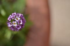 bandiera (robra shotography []O]) Tags: flower macro flag fiore alyssum bandiera alisso