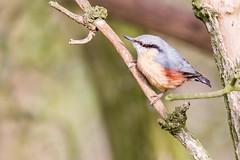 Nuthatch (alanrharris53) Tags: park abbey birds woodland nt aves trust nationaltrust nuthatch caulke
