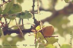 FM-Diospyros.melanoxylon-FA2 (florimagix) Tags: fruit forest edible ebony coromandel diospyros melanoxylon
