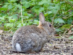 Wild Rabbits, Chesham, Chiltern Hills, Buckinghamshire, England (PaChambers) Tags: uk wild england brown rabbit london animals rural town europe hare wildlife chilterns buckinghamshire april rabbits bucks metropolitanline lapin chiltern chesham 2016 metroland commutertown