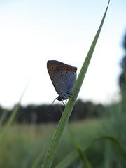 Groer Feuerfalter [ Large copper ] [ Krrguldvinge ] ( Lycaena dispar ) (ritschif) Tags: butterfly outdoor natur makro tier insekten schmetterlinge lycaenadispar largecopper tagfalter blulinge dagfjrilar krrguldvinge groserfeuerfalter