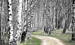 Birch (Claus Kjrsgaard) Tags: trees landscape denmark birch