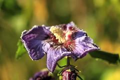 Hibiskusblte (Torsten.Schwarz) Tags: frost blte hibiskus reif eiskristalle