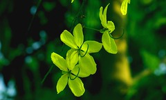 Golden  drops (Rajavelu1) Tags: flowers plant green art yellow outdoor creative artland macrophotography canon60d
