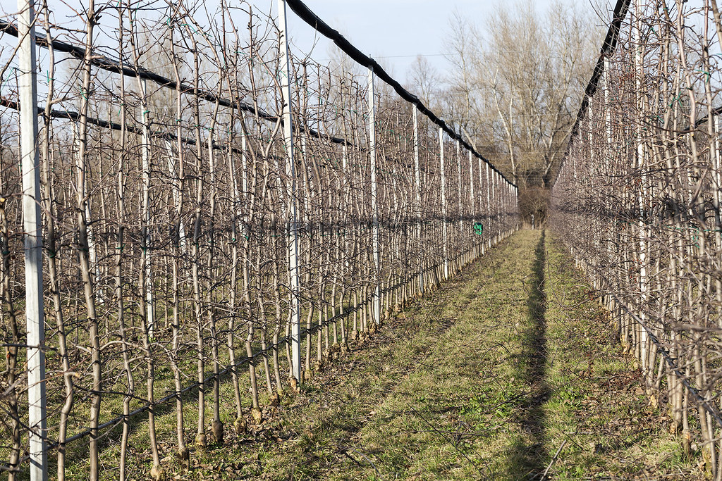The world 39 s best photos of outdoors and pruning flickr hive mind - Spring trimming orchard trees healthy ...