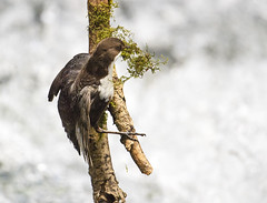 DIPPER GETTING NESTING MATERIAL (d1ngy_skipper) Tags: derbyshire peakdistrict britishwildlife waterbirds whitepeak dipper britishbirds