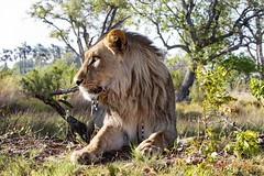 african lion5 (panthera leo) (Colin Pacitti) Tags: outdoor ngc lion wildanimal predator carnivore africanlion malelion pantheraleo coth fantasticwildlife hennysanimals