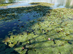 Echo Park Lake (melissa.delzio) Tags: park lake los angeles echo waterlillies